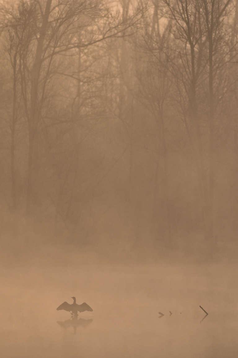 Cormoran dans la brume à l'aube